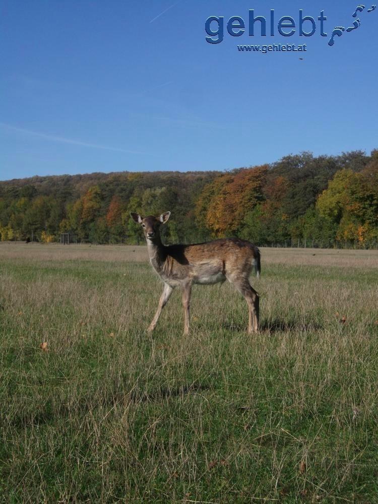 Bambi im Lainzer Tiergarten gesichtet!