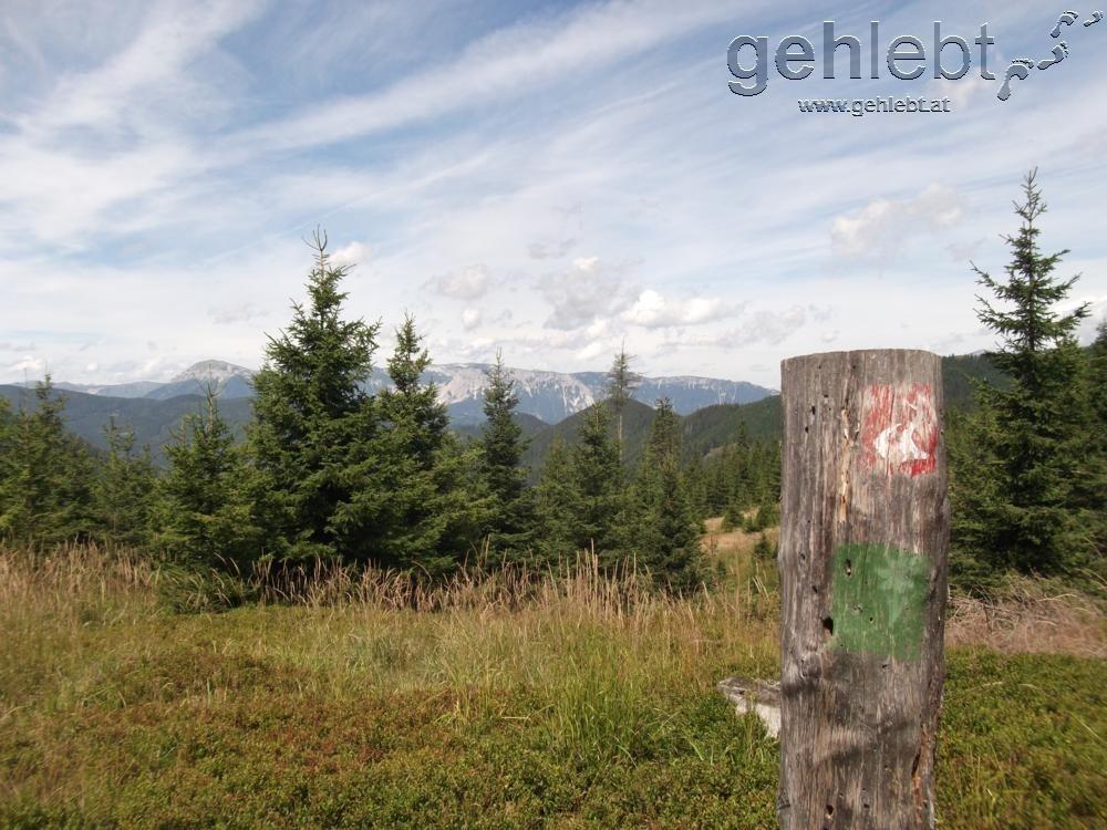Weiße Edelweiß auf grünem Hintergrund ist eine Seltenheit geworden. Hier gemeinsam mit dem Alpannonia-Weitwanderweg.