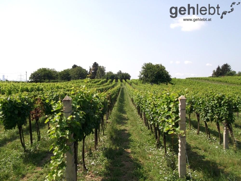 Am Weg zur Eichendorff-Höhe in Stammersdorf trifft man auf Weinreben - RUW10.
