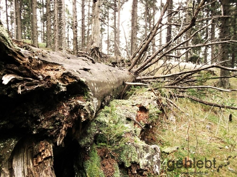 Ein gutes Beispiel für lebendiges Totholz in der Baum-Pension.