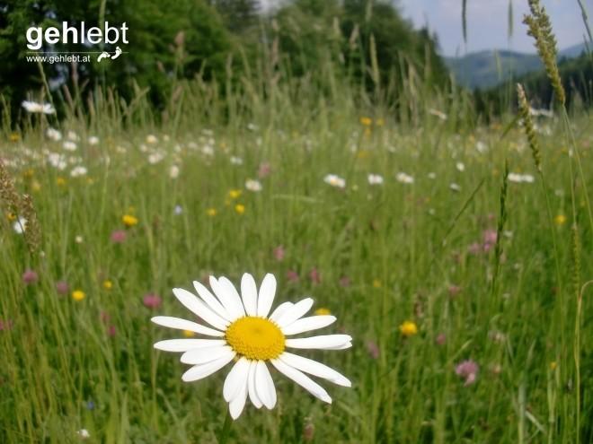 Der oberösterreichische Prototyp einer Blumenwiese.