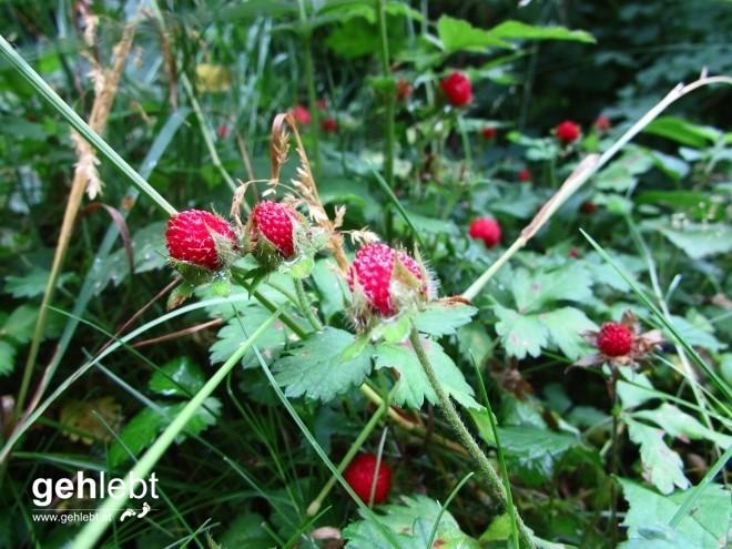 Keine schmackhaften Walderdbeeren, sondern das Erdbeer-Fingerkraut. Die Früchte schmecken nach nichts.