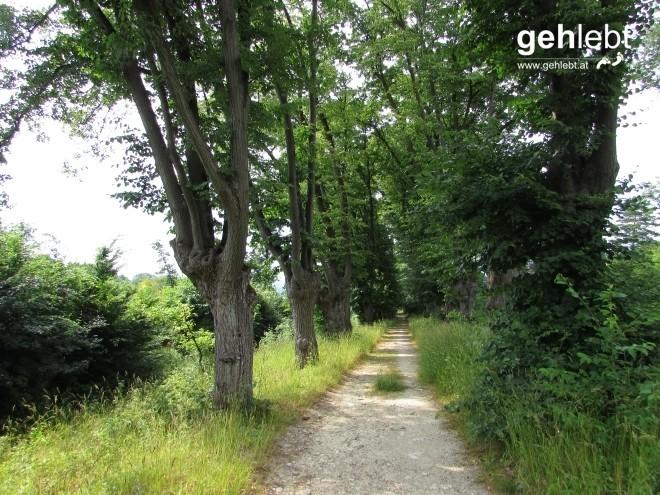 Die neue Lindenallee führt in Richtung Hornstein.