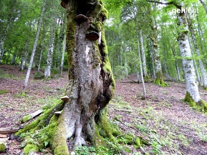 Nationalpark Kalkalpen (14) - Naturnahe Buchenwälder