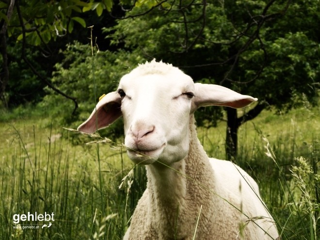 Sieht etwas belämmert aus der Wolle.