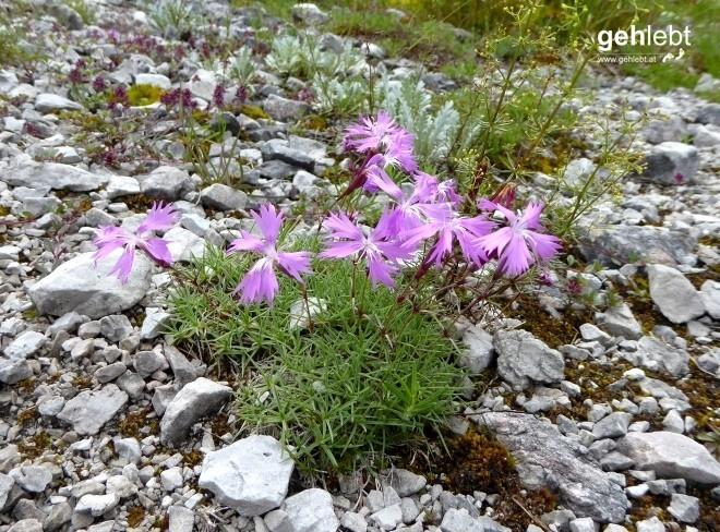 Dianthus plumarius blandus - Zierliche Federnelke.